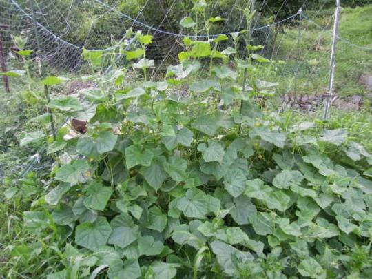 聖護院節成胡瓜の成長 H2706