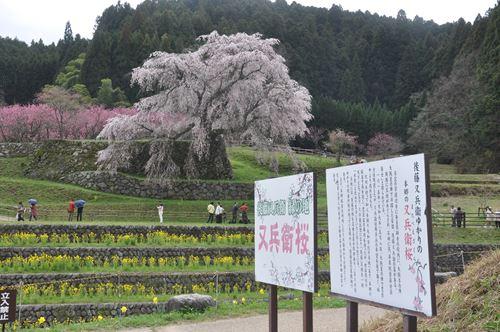 matabeisakura002_R.jpg
