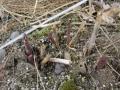 アスパラの芽