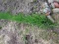 去年のさんかいねぎの芽