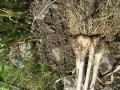 ニンニクの芽を3