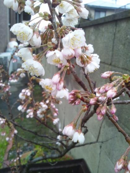 サクランボの花 開花