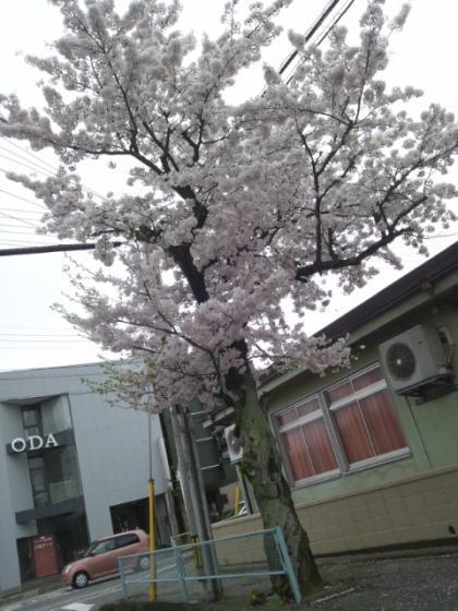 街路樹の桜 満開