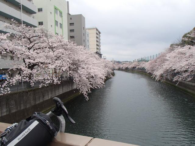さくらポタ (1)