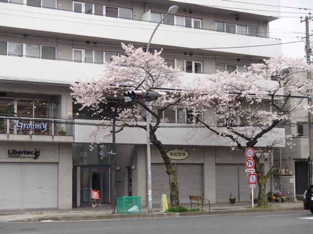 さくらポタ (21)