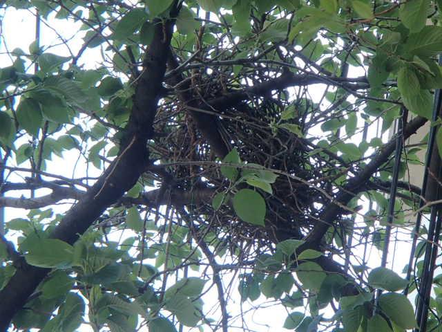 カラスの巣 (2)