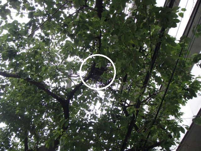 カラスの巣撤去 (1)