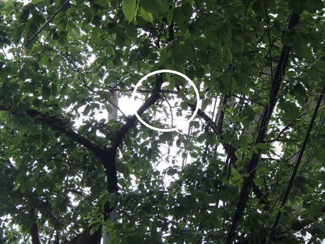 カラスの巣撤去 (8)