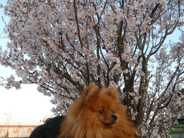 150328ポン太桜③