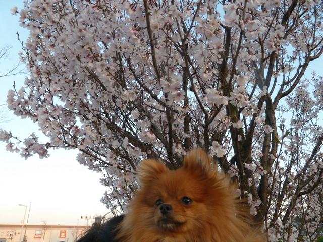 150328ポン太桜④