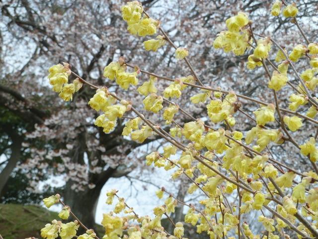 150329ポン太桜②