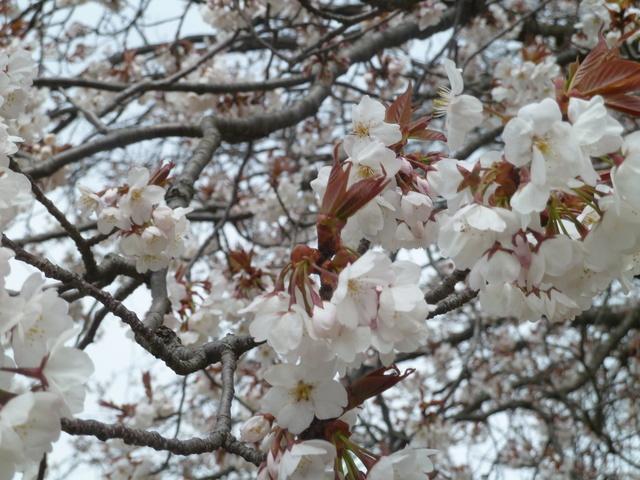 150329ポン太桜④