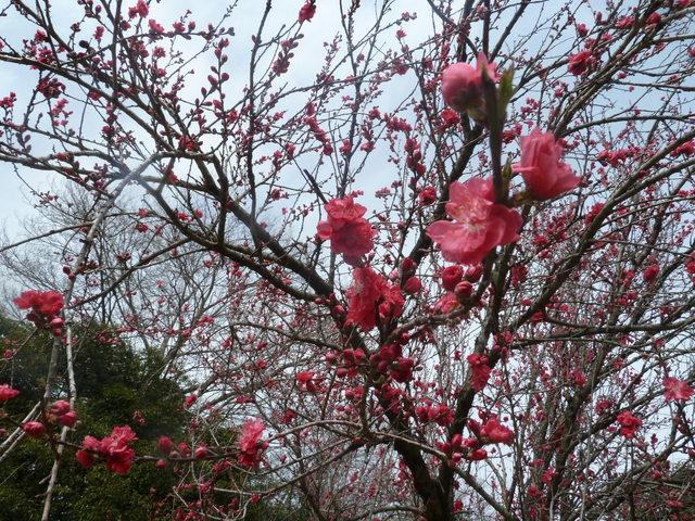 150329ポン太桜⑥