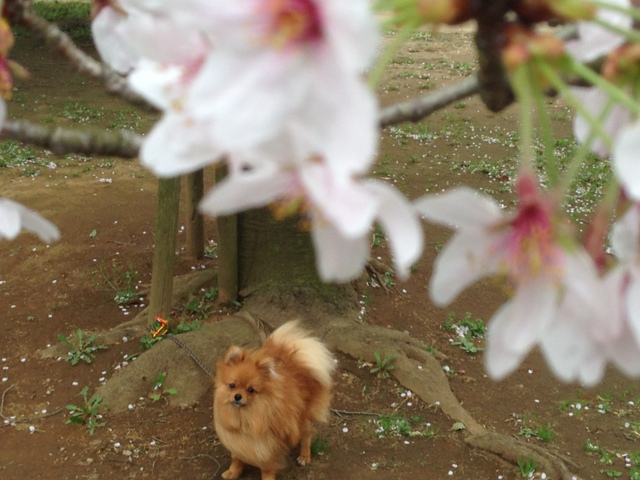 150404ポン太桜①