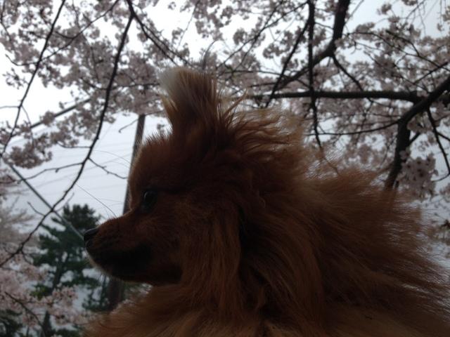 150404ポン太桜②