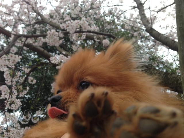 150404ポン太桜③