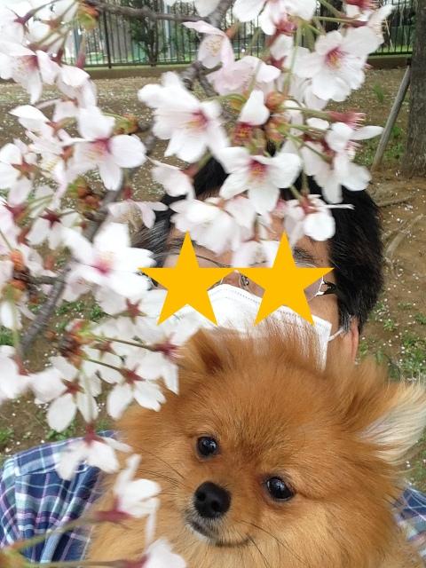 150404ポン太桜④