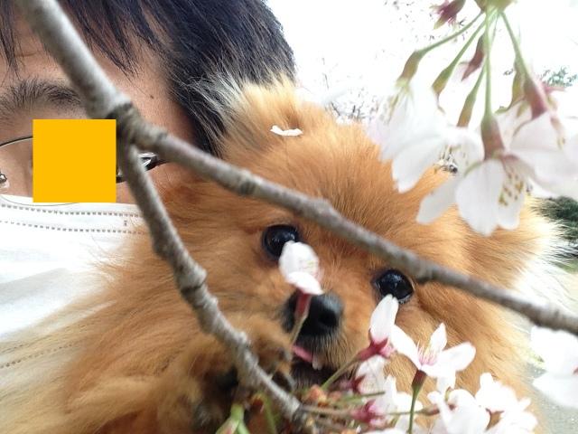 150404ポン太桜⑤