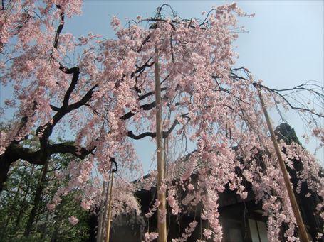 伝法院庭園の桜 ③