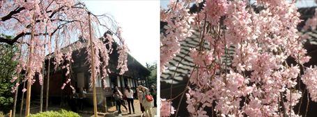 伝法院庭園の桜 ①&②