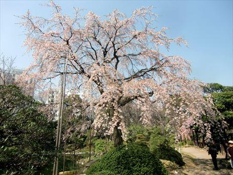 伝法院庭園の桜 ④
