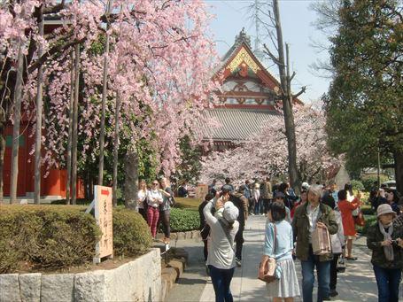 浅草寺境内の桜 ①