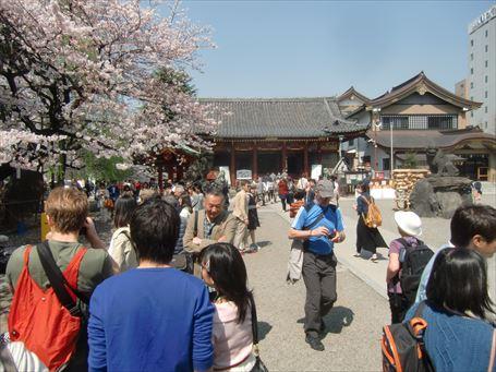 浅草神社の桜 ①