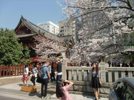 浅草神社の桜 ②