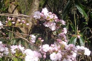 桜2015の1