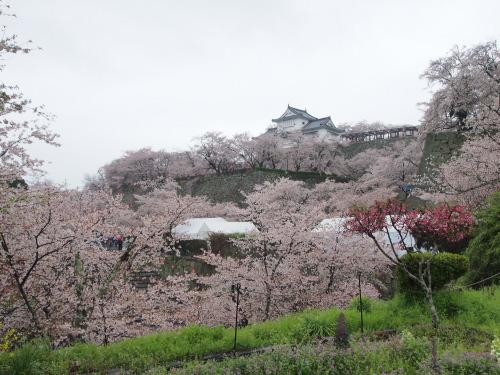 2015鶴山公園桜2