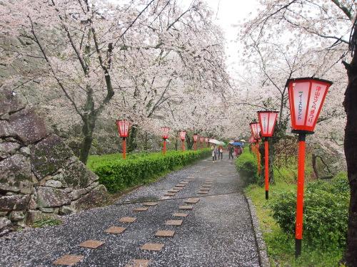 2015鶴山公園桜5