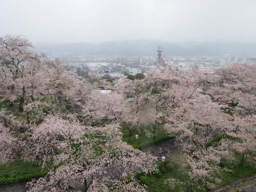 2015鶴山公園桜8