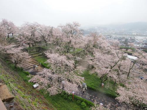 2015鶴山公園桜10