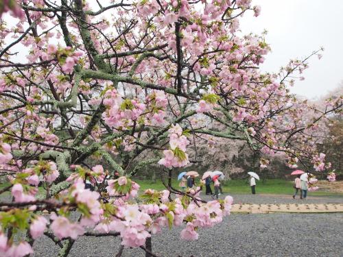 2015鶴山公園桜11