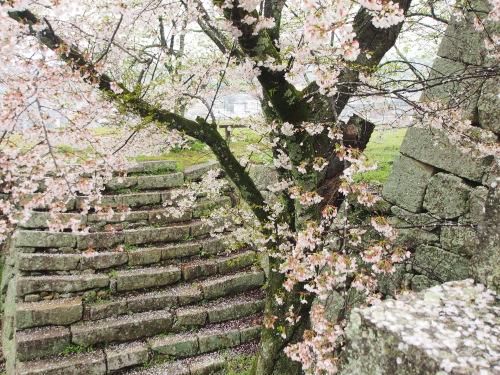2015鶴山公園桜12