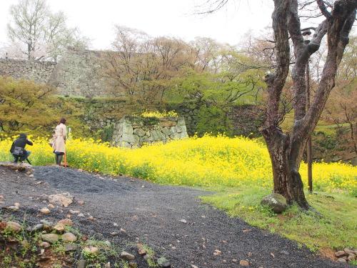 2015鶴山公園桜13