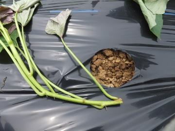 さつま芋植え27年3