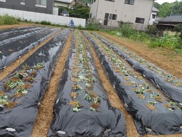 さつま芋植え27年6