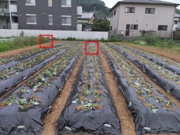 さつま芋植え27年8