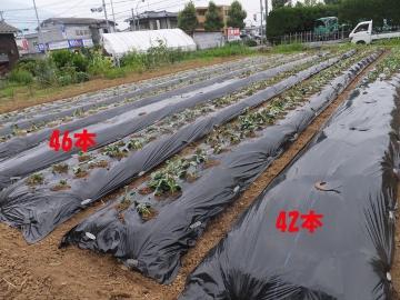 さつま芋植え27年9