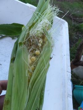 トウモロコシ27年初収穫