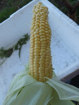トウモロコシ27年初収穫4