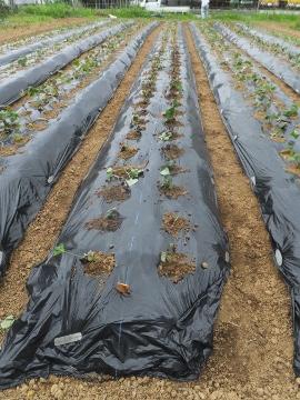 さつま芋植え27年終了8