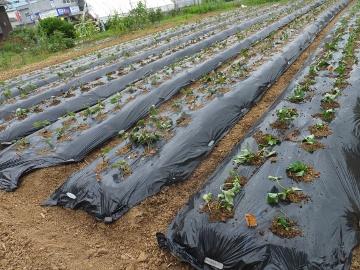 さつま芋植え27年終了9