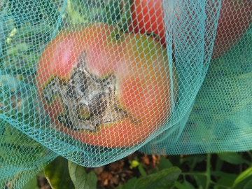 トマト青が赤へ6