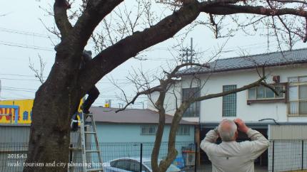 平成27年桜開花宣言1