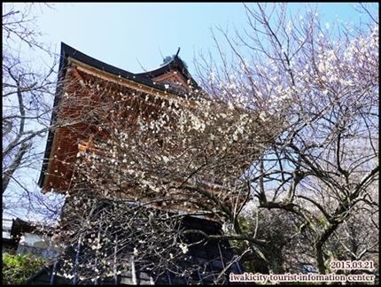 専称寺のウメ2-002