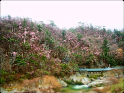 夏井川渓谷 岩ツツジ(アカヤシオ)1
