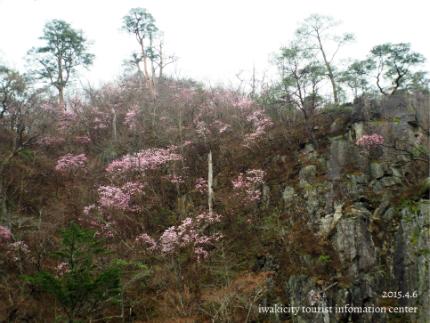 夏井川渓谷 岩ツツジ(アカヤシオ)3