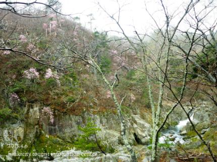 夏井川渓谷 岩ツツジ(アカヤシオ)2